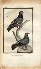 1. Le Biset. 2. Le Pigeon Commun.