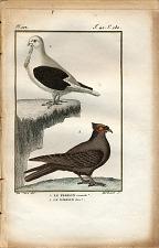 1. Le Pigeon cravate. 2. Le Pigeon ture.