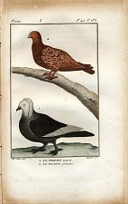 1. Le Pigeon maurin. 2. Le Pigeon polonais.