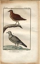 1. Le Pigeon de la Jamaïque. 2. Le Pigeon cavalier.