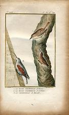 1. Le Petit Grimpereau de France. 2. Le Petit Grimpereau de la Guiane. 3. Le Grimpereau de Muraille.