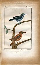 1. L'Oiseau Brun à Bec de grimpereau. 2. Le Guit-Guit noir et bleu.