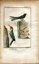 1. La Salangane et sone nid. 2. Le Pic Verd.