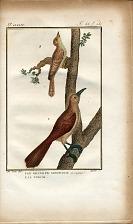 1. Le Grand Pic Grimpereau de Cayenne. 2. Le Torcol.