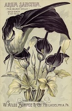 Arum sanctum, the black calla