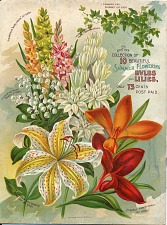 Summer flowering bulbs and lilies