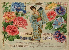 Imperial Japanese morning glory