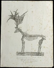 The skeleton of the Irish Elk