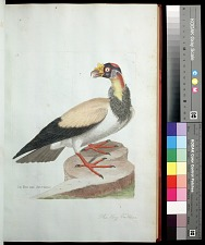 Plate 58: The King Vulture