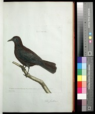 Plate 64: The Jackdaw