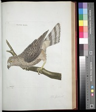 Plate 74: The Goshawk
