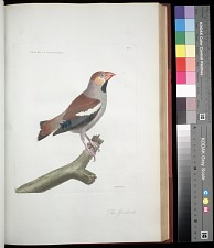 Plate 77: The Grosbeak