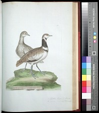 Plate 114: 1. Little Bustard, Male. 2. [Little Bustard], Female