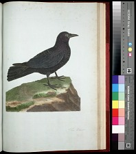Plate 151: The Crow