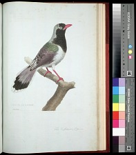 Plate 157: The Caffrarian Jay
