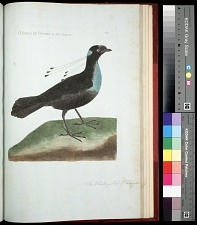Plate 160: The Whistling Bird of Paradise