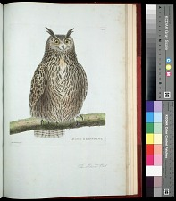 Plate 162: The Horned Owl