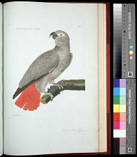 Plate 164: Parrot, from Guinea
