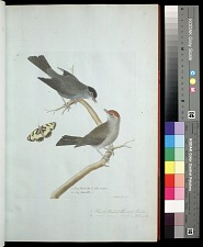 Plate 16: 1. Black Headed Linnet, Male. 2. [Black Headed Linnet], Female.