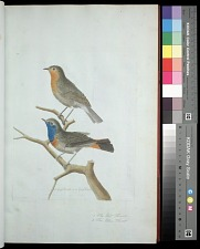 Plate 17: 1. The Red Throat. 2. The Blue Throat