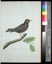 Plate 18: The Starling, Male