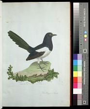 Plate 23: The Magpie, Male