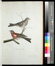 Plate 28: 1. Chaffinch, Male. 2. [Chaffinch], Female.