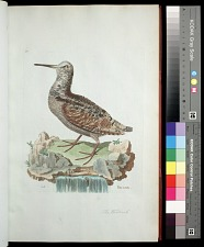 Plate 30: The Woodcock