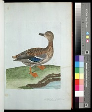Plate 32: Wild Duck, Female
