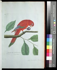 Plate 34: Red Parrot, from Borneo