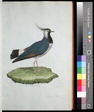 Plate 38: Lapwing, Male