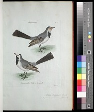 Plate 39: 1. Water Wagtail, Male. & 2. [Water Wagtail], Female.