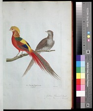 Plate 42: 1. Golden Pheasant, Male. 2. [Golden Pheasant], Female