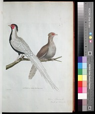 Plate 43: Silver Pheasant Male & Female