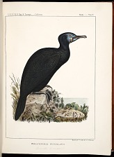 Birds--Plate X