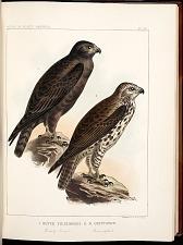 Birds--Plate XV