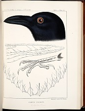 Birds--Plate XX
