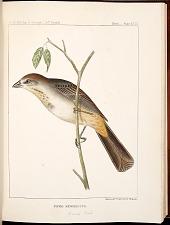 Birds--Plate XXIX