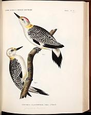 Birds--Pl IV (42)