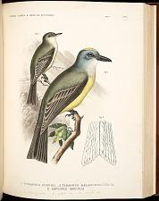 Birds--Pl XI (49)