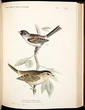 Birds--Pl XVII (55)
