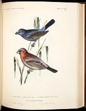 Birds--Pl XVIII (56)