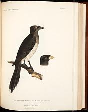 Birds--Pl LXVIII