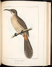 Birds--Pl LXXXII