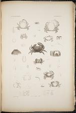 Cancroidea. Pl. 13