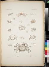 Cancroidea. Pl. 14