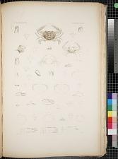 Cancroidea. Pl. 17