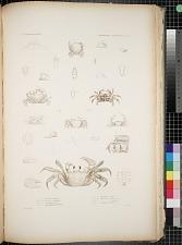 Cancroidea. Grapstoidea. Pl. 19