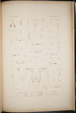 Cyclopoidea. Pl. 86