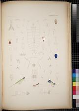 Cyclopoidea. Pl. 88